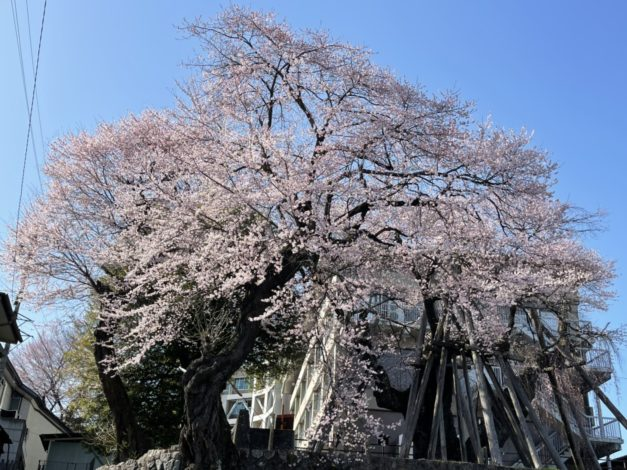 丘の上 桜情報!3月23日現在