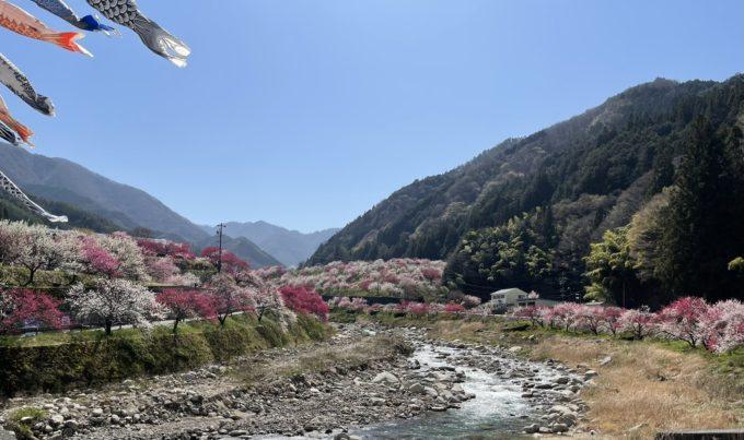 日本一の花桃の里 ここは阿智村