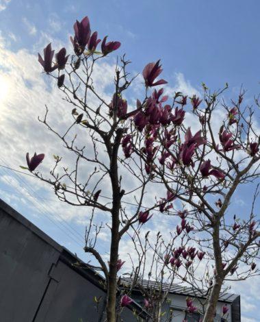 木蓮の開花!