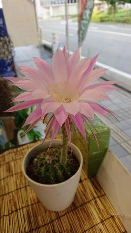 咲きました!サボテンの花